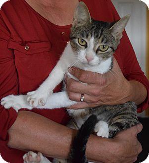 Domestic Shorthair Cat for adoption in Surrey, British Columbia - Lexi