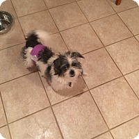Adopt A Pet :: Auggie - Wyanet, IL