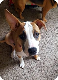 Terrier (Unknown Type, Medium) Mix Puppy for adoption in Detroit, Michigan - Cheez-It-Adopted!