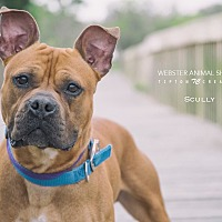 Adopt A Pet :: Scully - Webster, TX