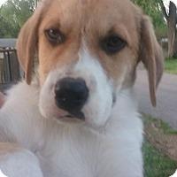 Adopt A Pet :: Jupiter - St Louis, MO