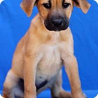 Adopt A Pet :: Canyon - Waldorf, MD