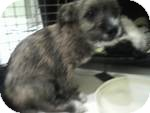 Cairn Terrier/Scottie, Scottish Terrier Mix Puppy for adoption in Simi Valley, California - Ernie