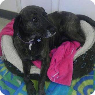 Labrador Retriever/Plott Hound Mix Dog for adoption in Manassas, Virginia - Sammy