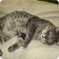 Domestic Shorthair Cat for adoption in Alamo, California - Alex