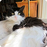 Adopt A Pet :: Captain - Arlington, VA