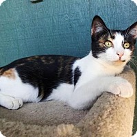 Domestic Shorthair Cat for adoption in Lathrop, California - Tiki