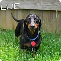 Adopt A Pet :: Willie - Georgetown, KY