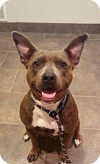Pit Bull Terrier Mix Dog for adoption in Lancaster, Pennsylvania - Jasmine
