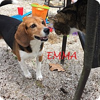 Adopt A Pet :: EMMA- Courtesy Posting - Ventnor City, NJ