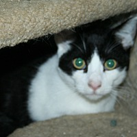 Domestic Shorthair Kitten for adoption in Santa Rosa, California - Vincent