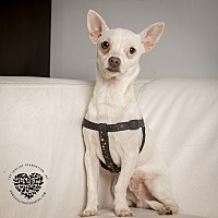 Adopt A Pet :: Blanco - Inglewood, CA