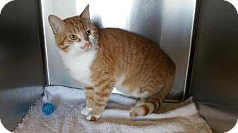 Domestic Shorthair Cat for adoption in Maquoketa, Iowa - Rusty