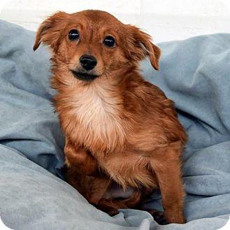 Dachshund Mix Dog for adoption in Arlington, Virginia - Ripley