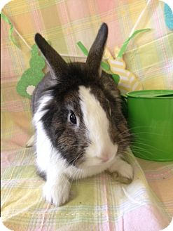 Lionhead Mix for adoption in Paramount, California - Piper