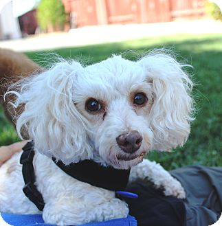 Miniature Poodle/Maltese Mix Dog for adoption in La Mirada, California - Quinn