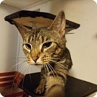 Adopt A Pet :: Tiger - Medford, NY