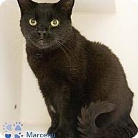 Adopt A Pet :: Marceau - Merrifield, VA