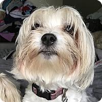 Adopt A Pet :: Biscuit - Tumwater, WA