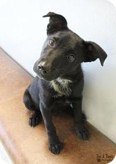 Australian Cattle Dog/Labrador Retriever Mix Puppy for adoption in Yukon, Oklahoma - Leo