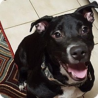 Labrador Retriever Mix Dog for adoption in Akron, Ohio - Jolene - PENDING
