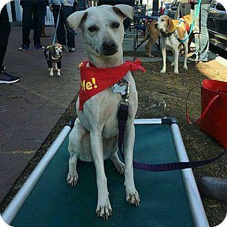 Thai Ridgeback Mix Dog for adoption in Washington, D.C. - Crystal - NEEDS FOSTER