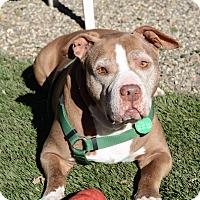 Pit Bull Terrier Mix Dog for adoption in Santa Barbara, California - Grandpaw