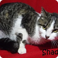 Adopt A Pet :: Shadow - Batesville, AR