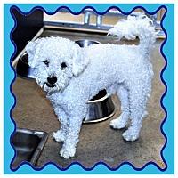 Poodle (Miniature) Mix Dog for adoption in San Jacinto, California - Poodle male X