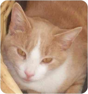 Domestic Shorthair Cat for adoption in Vails Gate, New York - Duncan