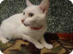 Domestic Shorthair Cat for adoption in Arlington, Virginia - Cloud