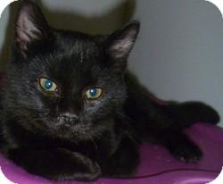 Domestic Shorthair Cat for adoption in Hamburg, New York - Cole