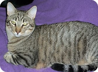 Domestic Shorthair Cat for adoption in North Highlands, California - Lego