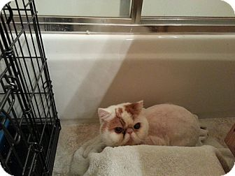 Exotic Cat for adoption in Beverly Hills, California - Preston