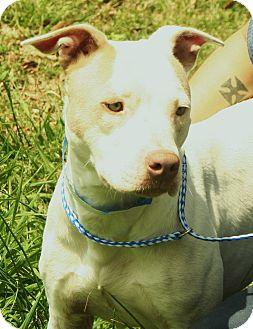 American Bulldog/Cattle Dog Mix Dog for adoption in Snohomish, Washington - Rebecca the Princess!