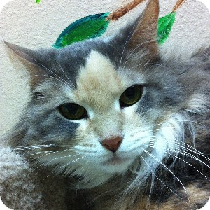 Domestic Longhair Cat for adoption in Gilbert, Arizona - Princess