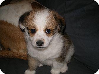 Maltese/Shih Tzu Mix Puppy for adoption in Apex, North Carolina - Radar