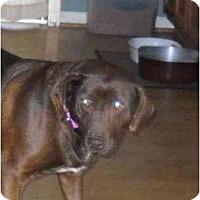 Adopt A Pet :: Coco Chanel - Glastonbury, CT