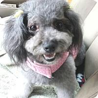 Adopt A Pet :: Hollly - Encino, CA