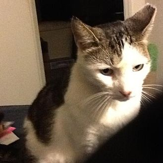 Domestic Shorthair Cat for adoption in Oviedo, Florida - Stormy