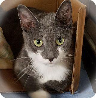 Domestic Shorthair Cat for adoption in Trevose, Pennsylvania - Priscilla