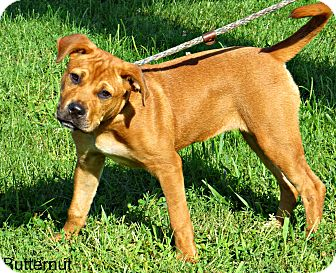 Mastiff Mix Dog for adoption in tama, Iowa - Butternut