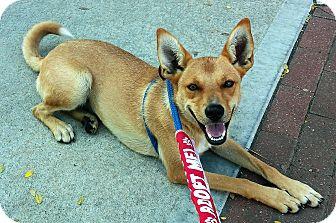 Cattle Dog/Shepherd (Unknown Type) Mix Dog for adoption in Sedalia, Missouri - Gabby