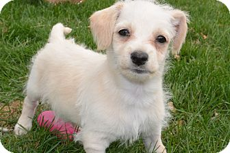 Dachshund/Terrier (Unknown Type, Small) Mix Puppy for adoption in Denver, Colorado - Sid