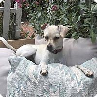 Adopt A Pet :: Gidget - Grass Valley, CA