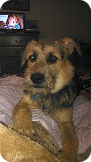 Irish Wolfhound/Airedale Terrier Mix Dog for adoption in San Antonio, Texas - Tigger