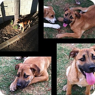 Shepherd (Unknown Type) Mix Puppy for adoption in Gilbert, Arizona - Cleo