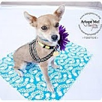 Adopt A Pet :: Tootsie - Shawnee Mission, KS