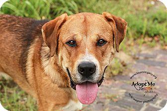 Bullmastiff/Labrador Retriever Mix Dog for adoption in Cincinnati, Ohio - Thor