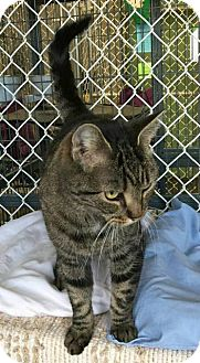 Domestic Shorthair Cat for adoption in Freeport, New York - Bonny
